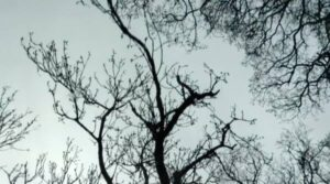 spring tree branches seen from below
